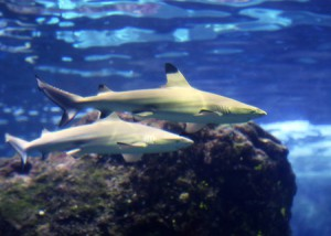 マウイ島の水族館に 準絶滅危惧種「ツマグロ」赤ちゃん登場